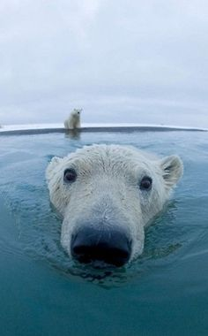 such a cute shot of this polar bear & the one still on the ice!