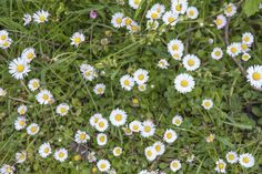 Traditionally, English daisy has been considered an enemy of neat, carefully manicured lawns. These days, ideas about the function of lawns are changing. To learn more about Bellis daisy grass alternatives, click on this article.