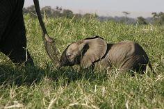 Follow the leader, baby elephant, Botswana