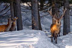 Jeleń, Sarny, Zima, Las, Przebijające Światło
