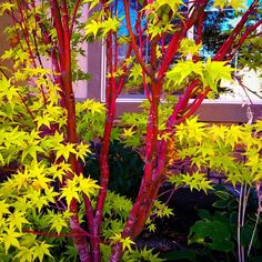 Acer palmatum 'Sango-kaku' Common name: Coral bark Japanese maple Maple Tree Bark, Coral Bark Maple, Jardin Feng Shui, Japanese Garden Design, Japanese Gardens, Japanese Maple Garden, Japanese Garden Plants, Japanese Tree, Specimen Trees