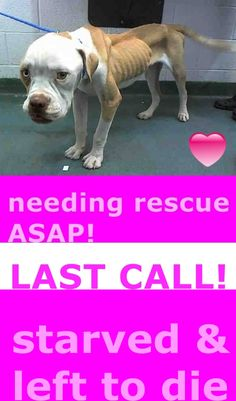 RESCUED --- Needing rescue ASAP LUCY (A1687251) I am a female white and tan American Bulldog.  The shelter staff think I am about 1 year old and I weigh 32 pounds.  I was found as a stray and I may be available for adoption on 03/26/2015. Miami Dade https://www.facebook.com/urgentdogsofmiami/photos/pb.191859757515102.-2207520000.1426882332./948039151897155/?type=3&theater