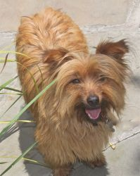 sealy is an adoptable Cairn Terrier Dog in Houston, TX.  FOR MORE INFORMATION ON THIS DOG PLEASE VISIT OUR WEB PAGE www.houstonshaggydogrescue.org all of our dogs are neutered/spayed.. micro chipped w...