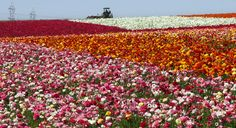 Carlsbad (San Diego, Calif) flower fields - stunning! 50 acres of beautiful ranunculus flowers.