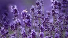 Bilderesultat for lavender
