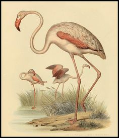 The greater flamingo is a bird in the family Phoenicopteridae. It is the most common of flamingo species and can be found from western Africa to south Asia.