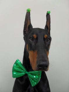 Janice Foulkes  His name is Miller and he is ready for St Patricks Day! #Dobermanpinscher #Doberman