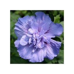 Magnifique variété à grandes fleurs doubles bleu clair. Arbuste vigoureux et rustique.