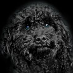 black dogs with blue eyes - Google Search