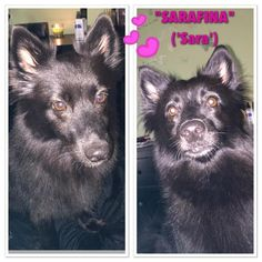 Meet Sara, a Petfinder adoptable Schipperke Dog | Willingboro, NJ | She is approx 2-3 yes old Schipperke/Pomeranian Mix and weighs 18 lbs. She is a VERY smart and...