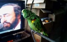 When It Comes To Imitations, This Classy Parrot Decided That Only The Best Would Do.