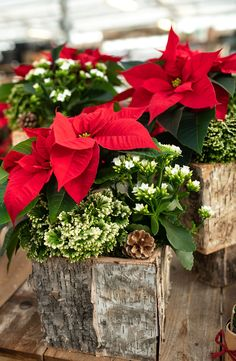 8a6fdcc363b Gorgeous poinsettia and tropical plants in birch planter for the Christmas  season.  christmas