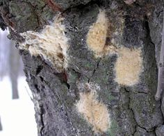 Investigate trees now for signs of gypsy moth #gypsymoth #michigan