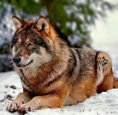 Candra als Wolf Wolf Images, Wolf Photos, Wolf Pictures, Beautiful Wolves, Animals Beautiful, Cute Animals, Wild Animals, Baby Animals, Wolf World