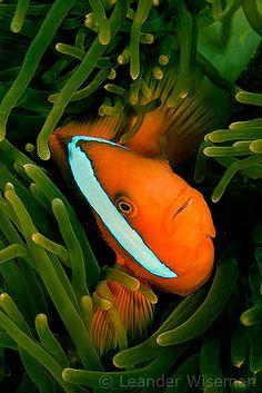 ˚Clown Fish