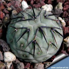 Tephrocactus geometricus Villazón, Bolivia - Argentina border