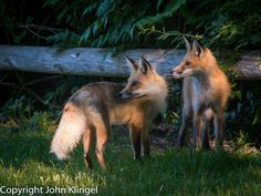 Red Foxes by John Klingel