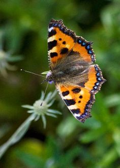 5513- small tortoiseshell butterfly