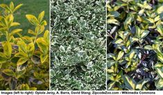 40 Small or Dwarf Evergreen Shrubs (With Pictures and Names) Dwarf Evergreen Shrubs, Evergreen Flowers, Evergreen Bush, Dwarf Shrubs, Dwarf Trees, Evergreen Garden, Hedging Plants, Flowering Shrubs, Garden Plants