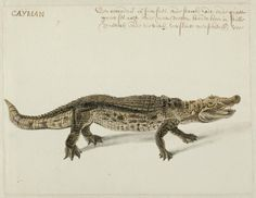 Frans Post (1612–1680), Caiman, (around 1637-1644). Watercolour and gouache with pen in black; translated inscription: CAIJMAN // A coccodril's overseer fast income Starck, rad, andthe quaet / large ses: overnight more feet, keeps him in silent. Noord-Hollands Archief, Haarlem inv.nr. 53004652_02.