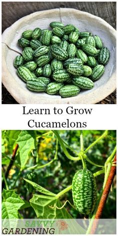 how to grow crispy, crunchy cucamelons in your garden Learn how to grow cucamelons in gardens and containers.Learn how to grow cucamelons in gardens and containers. Growing Tomatoes In Containers, Growing Vegetables, Grow Tomatoes, Gardening Vegetables, Home Vegetable Garden, Herb Garden, Vertical Vegetable Gardens, Garden Tools, Garden Ideas