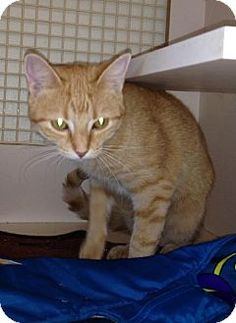 Maumelle, AR - Domestic Shorthair. Meet Denise, a cat for adoption. http://www.adoptapet.com/pet/11457823-maumelle-arkansas-cat