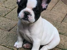 **UPDATE** Pups have now had :- vaccination paid for by my vets *microchip *health check *flea and worm treatment Beautiful French bulldog p Southampton, Hampshire, Fleas, Boston Terrier, French Bulldog, Pup, Dogs, Animals, Animales