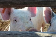 Many farm animals are locked into cramped gestation crates where they cannot even move for months on end until they are finally slaughtered. Praise an animal welfare center for putting on a demonstration acquainting participants with this inhumane and cruel process.