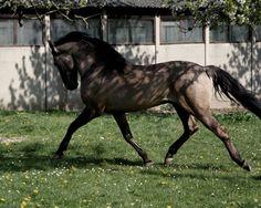 Grullo Lusitano Horse