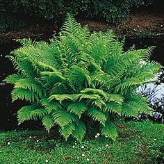 lady fern for the shade...and deer resistant too!