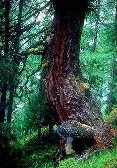 DIE LÄRCHE Trees, Plants, Woods, Tree Structure, Flora, Plant