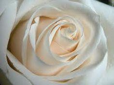 Rose Large White