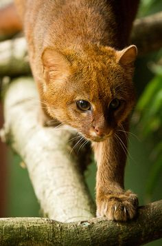 The jaguarundi (Puma yagouaroundi syn. Herpailurus yagouaroundi) is a small-sized wild cat native to Central and South America. Thejaguarundidiet consists mainly of small mammals, birds and reptiles. They have been observed to jump up to two metres off the ground to swat at birds in the air.  photobyJasonBrownPhotography