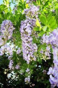 2017 Texas Native Plants Calloways Nursery