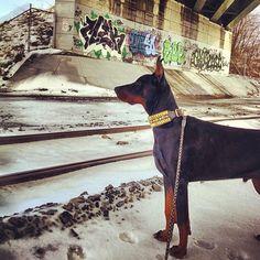 #graffiti #traintracks #crazyrebels #crazyrebelsdogcollar #pharaohcollar #mateothedoberman #dobe #dober #dobie #dadedobermann #doberman #dobermann #dobesofig #dobieofig #dobermans_akc #dobermansofinstagram #dobermanpride #bridge