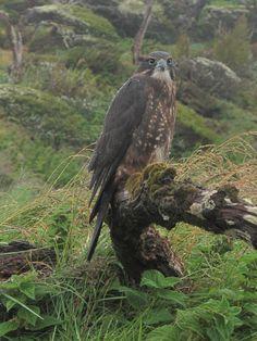 New Zealand falcon Tui Bird, Birds Online, Bird Coloring Pages, Nz Art, Reptiles And Amphibians, Birds Of Prey, Raptors, Hawks, Bird Feathers