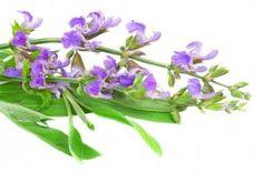 Šalvěj lékařská - léčivé sametové pohlazení Sage Essential Oil, Healthy Oils, Korn, Aromatherapy, Herbalism, Herbs, Plants, Apothecary, Feelings
