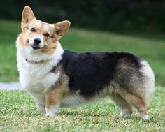21 Most Intelligent Dog Breeds. №19:Cardigan Welsh Corgi-1of 2 kinds of Corgis (other-Pembroke Welsh Corgi).Despite their small stature,Cardigan are known as little dog with the big brain: they can track down much larger animals & help hunt them, as extremely useful 4 those owners who like 2 spend their time hunting & stalking animals like deer & small game birds. A favorite of royalty, Corgis are known 2 learn quickly 2 respond 2 basic & advanced commands from owner & work well with…