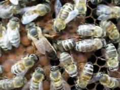 Królowa pszczół - Queen bee - YouTube