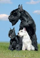 Gently Born - Giant Schnauzers and Toy Poodles Kennel Gently Born CHAMPION on the holidays 2015