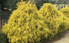 Gold Mop Cypress - Chamaecyparis pisifera 'Gold Mop' Dwarf