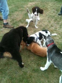 a puppy pile. The white with black one on top is Spook 18 weeks old 22-8-2012