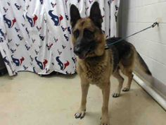 7/28****Help! This DOG - ID#A464823 - located at Harris County Animal Shelter in Houston, Texas - 1 year old Male German Shepherd - at the shelter since Jul 27, 2016.