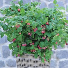 A completely new concept for growing Raspberries! These compact dwarf raspberry canes reach just high, making them perfect for large patio containers and smaller gardens. Raspberry Canes, Raspberry Bush, Fruit Plants, Fruit Trees, Growing Succulents, Planting Flowers, Container Plants, Container Gardening, Growing Raspberries
