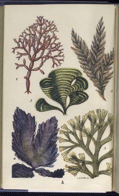 Sowerby, G. B. (George Brettingham), 1812-1884
