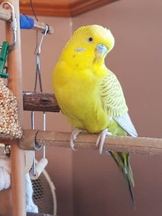 Oddball colour. Bright yellow and pale olive green Budgie. Wonder what it's called....