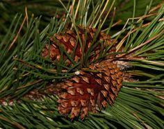 Pinus contorta (Lodgepole Pine)