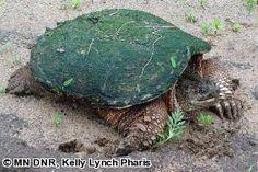 Helping Turtles Across the Road: Minnesota DNR