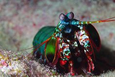 """Peacock mantis shrimp-totally destructive and deadly little beauties in an aquarium. Must be housed alone...and known to give a unsuspecting finger a good gash...hence the nickname """"Thumb Splitter"""""""