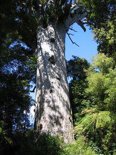 Agathis australis Tane Mahuta  タネ・マフタ    ニュージーランド北島のワイポウア森林保護区 にあるカウリ Agathis australis の巨木である。ニュージーランドにおいて最も有名で最も古い樹である。  「タネ・マフタ」はマオリ語で「森の神」を意味する( → Tāne)と共に、マオリのパンテオンの神の名でもある。タネ・マフタは現存する最大のカウリとして知られている。樹高51m、幹の円周は13.8mである。樹齢は定かではないが、1250年から2500年ほどであろうと見積もられている。
